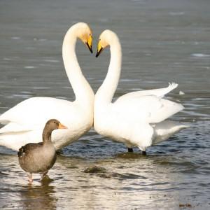 hooper-swans