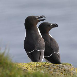 razorbill-pingouintorda