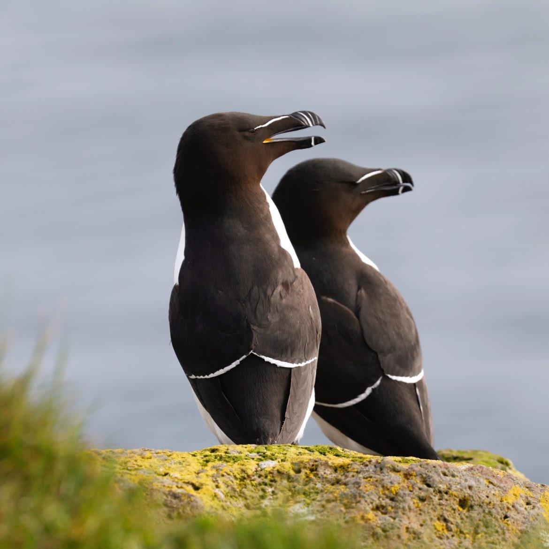 razorbill-pingouin-torda